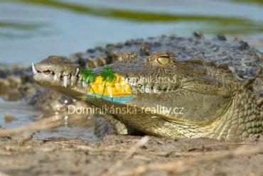 krokodýl americký v jezeře Enriquillo, Dominikánská republika
