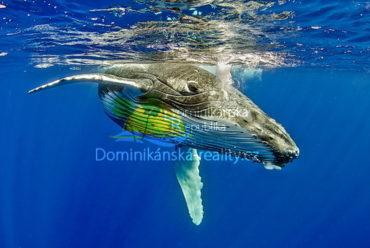 velryby na Samaná